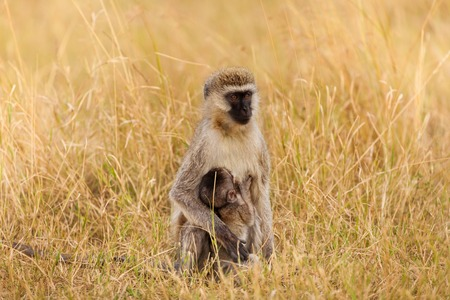 Portrait of female vervet monkey suckling her baby
