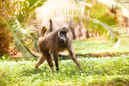 Adult Anubis baboon walking in African savannah