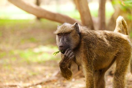 Female Olive baboon feeding in Kenyan savannah