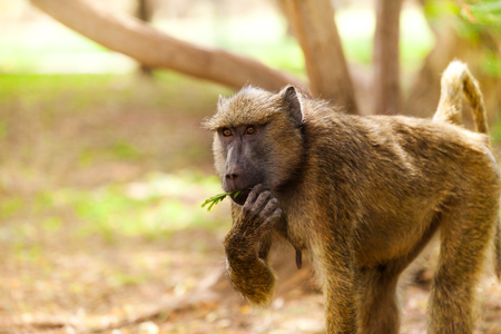 Female Olive baboon feeding in Kenyan savannah