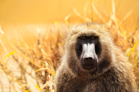 Close-up portrait of adult Olive baboon in Kenyan savannah, Africa
