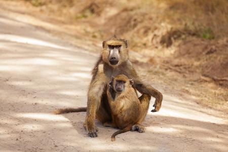 Olive Baboon-moeder met baby bij Afrikaanse savanne Stockfoto - 94420014