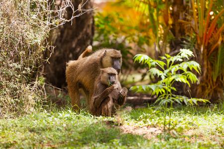 Family of Anubis baboon feeding in savanna bushes Stock Photo