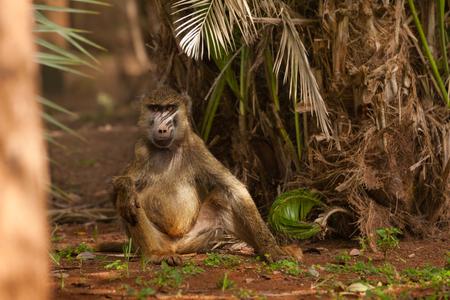 Olive baviaan zittend op de grond onder palmboom Stockfoto - 95921474