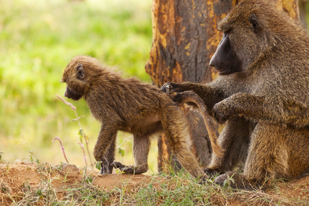 Female Olive baboon grooming her infants hair