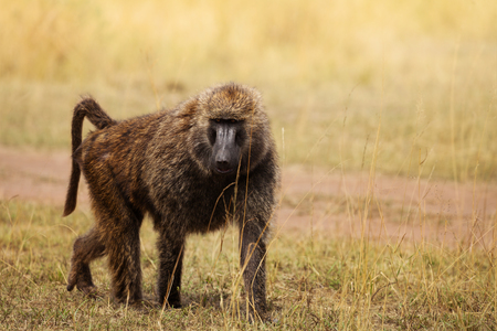 Adult Olive baboon foraging in arid grassland Stock Photo