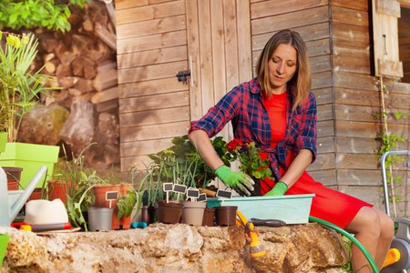 Attractive woman planting geranium in a container