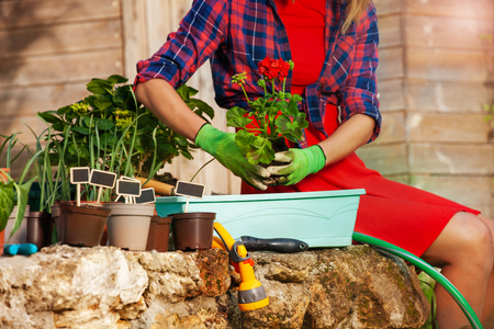 Female hands potting red geranium in a container Stock Photo