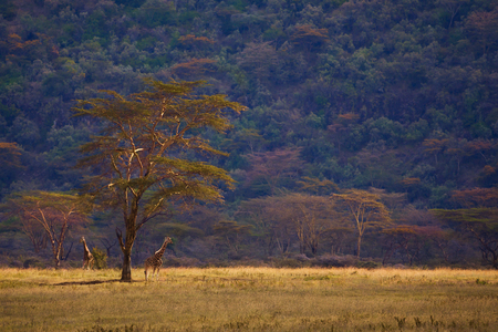 Giraffe and trees in African Kenya savannah