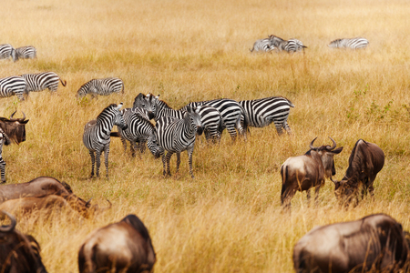 Groups of zebra and wildebeests in the field Stock Photo
