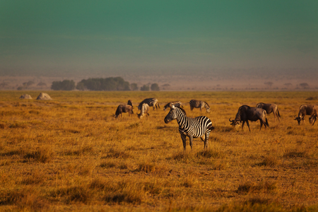Group of zebra game in reserve Kenya Stock Photo