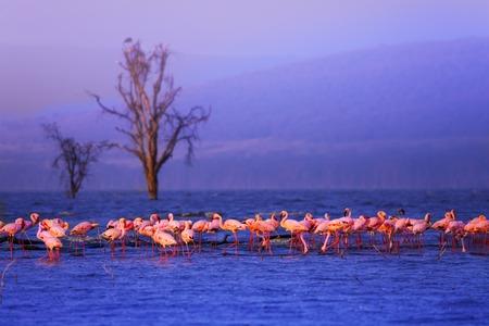 Large group of pink flamingoes in the lake Nakuru Stock Photo