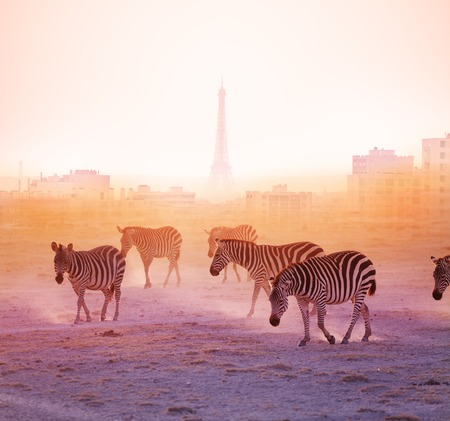 Group of zebras walking with Paris on background