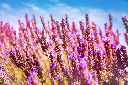 Blooming lavender flowers against blue sky, France