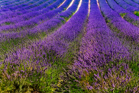 Blooming lavender rows on the field in France Stock Photo