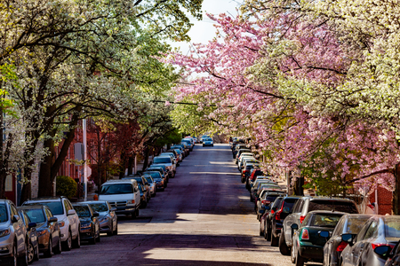 Baltimore street with blossomed trees in spring