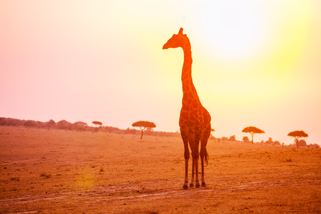 Profile of giraffe stand in sunset light 版權商用圖片