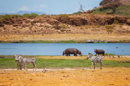 Zebras and hippopotamus stand near the lake