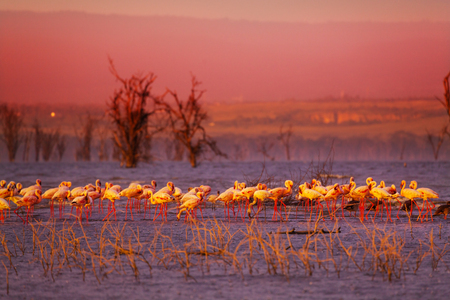 Pink sunset and flamingoes in the lake water