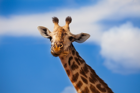 Large close photo of giraffe head over blue sky Imagens