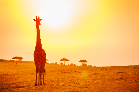 Big giraffe in Kenya savannah over orange sunset 版權商用圖片