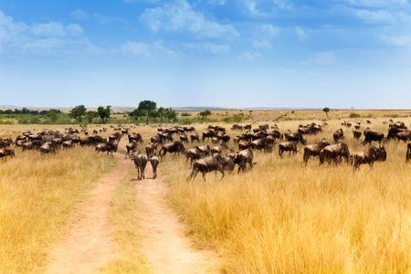 Larch floc of wildebeests animals in Kenya