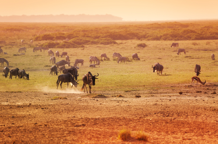 Group of wildebeests game in national reserve Stock Photo