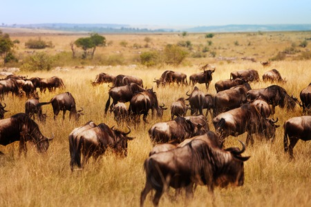 Large group of wildebeests animals in natural park