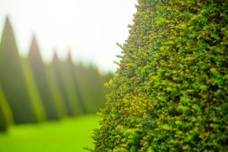 Evergreen tree on background with copy space