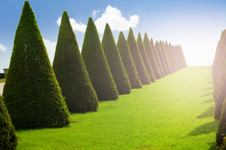 Rows of conical trees in Versailles gardens