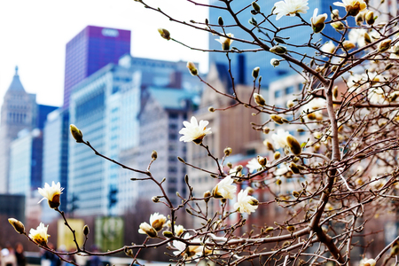 Spring flowers in Chicago downtown on background