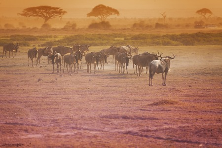 Kenyan savanna landscape with herd of wildebeests