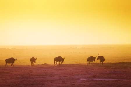 The silhouettes of wildebeests over sunset savanna Imagens