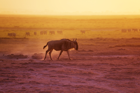Adult blue wildebeest walking at evening savannah