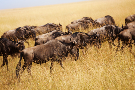 Herd of wildebeests pasturing at Kenyan savanna