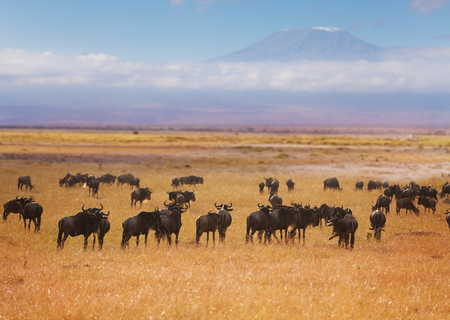 Big herd of blue wildebeests pasturing at dry grassland of Africa with Kilimanjaro mountain on the background Imagens