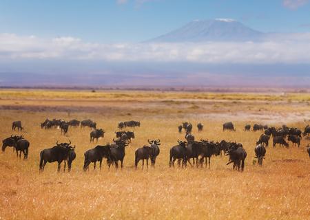 Gran manada de ñus azules pastando en pastizales secos de África con la montaña Kilimanjaro en el fondo Foto de archivo