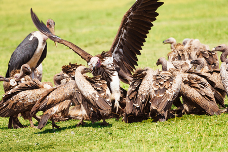Vultures flock and marabou eating carrion, Africa