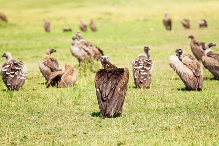 White-backed vulture herd having rest on grassland