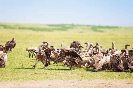 Big flock of white-backed vultures walking at African savannah Фото со стока