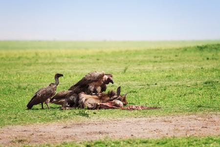 Volo di avvoltoi che si nutrono di una carcassa di gnu, Riserva Nazionale di Masai Mara, Africa
