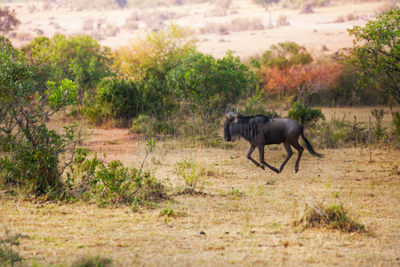 Picture of blue wildebeest galloping alone at Kenyan savannah, Africa