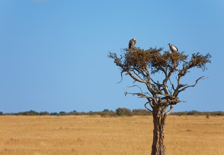 Picture of a pair of white-backed vultures sitting on a dry wood in Kenyan savannah