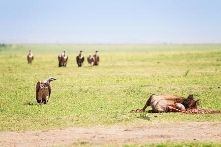 Vultures flight finding corpse of wildebeest at Kenyan savannah, Africa