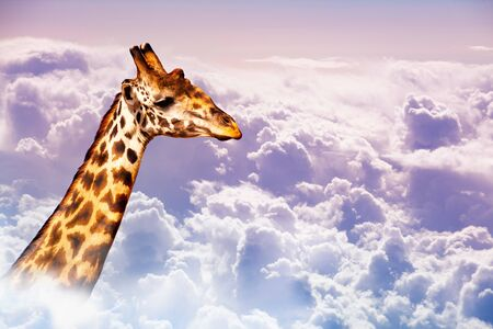 Very tall neck of giraffe over sky in the clouds