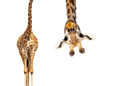 Giraffe with long head look upside down on white