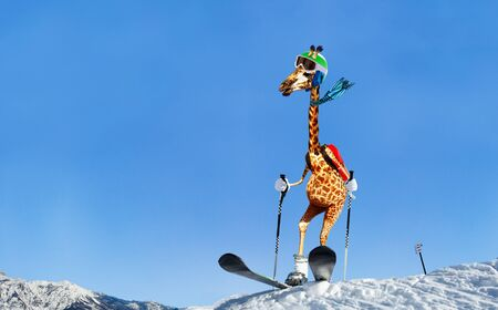 Happy giraffe on ski stand on top of skiing mountain slope wear scarf and googles