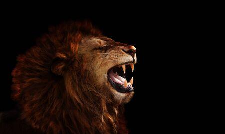 Perfil del león en la oscuridad rugiendo y mostrando colmillos