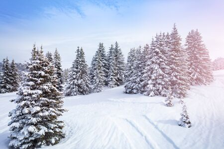 Winter fir and pine forest covered with snow after strong snowfall on sunny frosty day