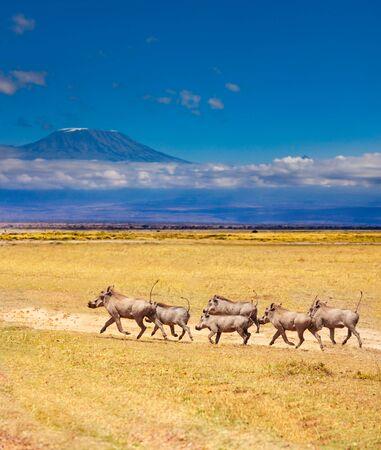 School of Phacochoerus known as warthogs pig run together over Kilimanjaro mountain in Kenya savanna, Africa